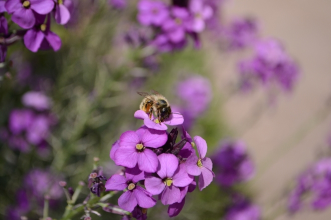 We saw this Bee and Bumble Bees on the Purple Wallflower at the entrance of the centre.