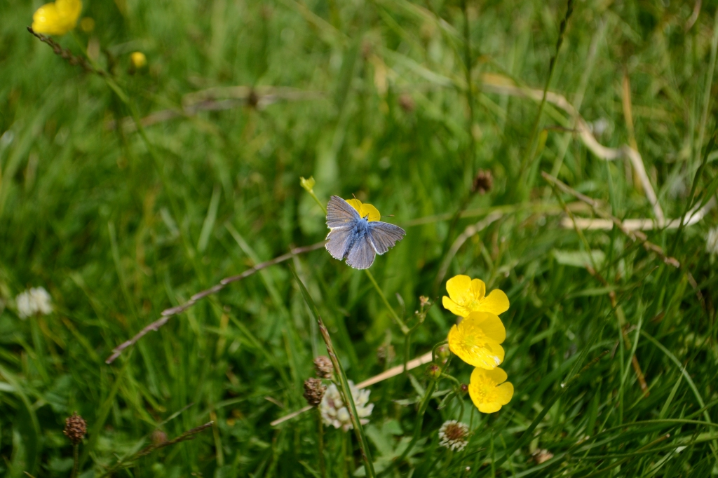 A Common Blue Butterfly (Gary has his camera back)