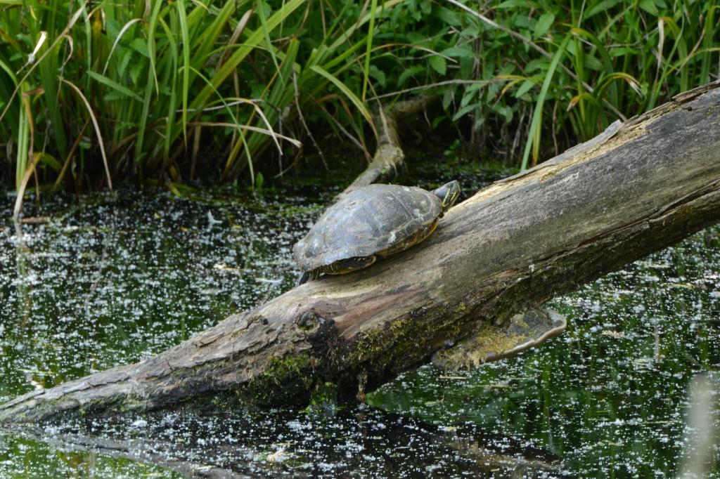 A Terrapin?!  I was shocked to see this.  Taken with a lens kindly leant by a very friendly chap from Stoke (walking past)