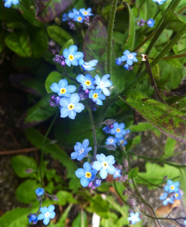 The modest Forget-me-not.