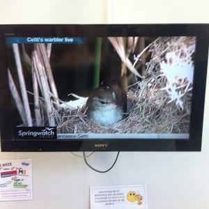 Springwatch Cetti's Warbler Nest Live