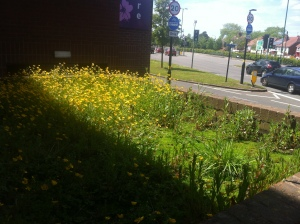 Buttercups growing in an unkempt feature thing