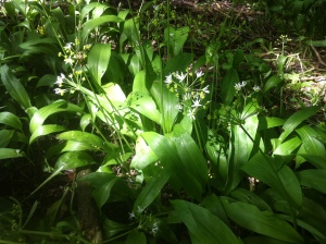 Wild Garlic (Ramsons) flowers past their best