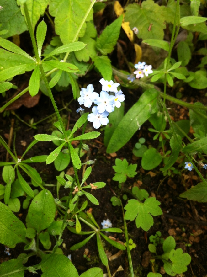 Forget-me-not (and Cleavers).