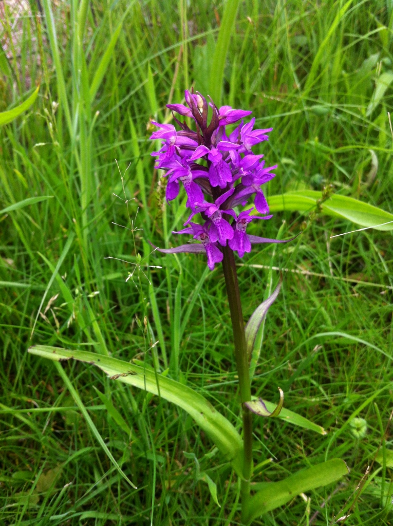 A Marsh Orchid (I think).