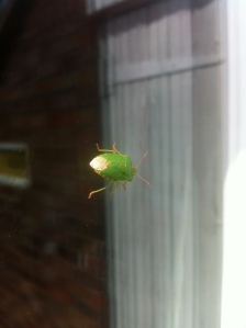 A Green Shield Bug perched on my parents livingroom window.