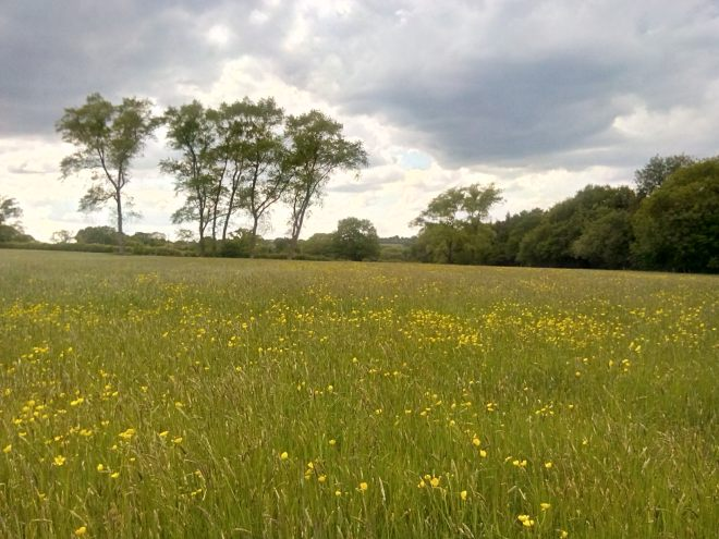 Said meadow, full of Buttercups