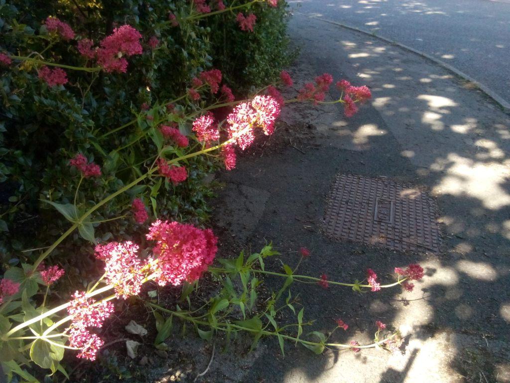Red Valerian growing Wild