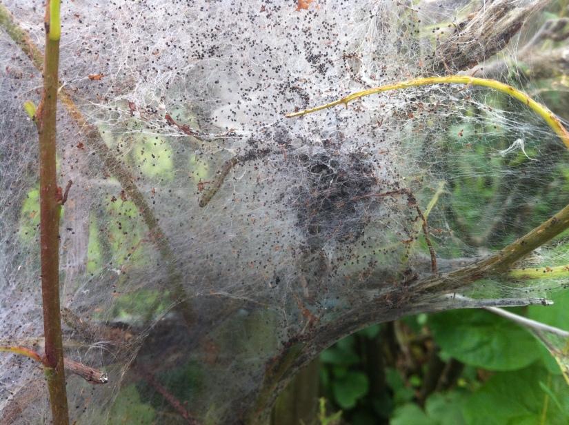 Ermine Moth Larvae!
