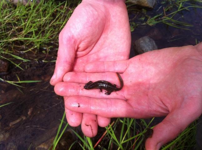 A Newt :)