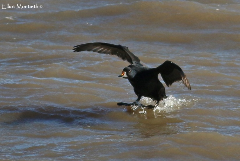 Common Scoter_edited-1