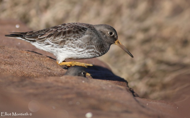 Purple Sandpiper 4_edited-1
